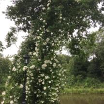 Rambler Roos Kiftsgate in eikenboom