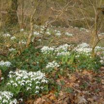 Voorjaar met sneeuwklokjes in de achtertuin